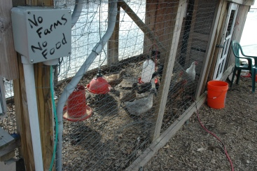 Ducks and chickens are among the denizens of ECO City Farms.