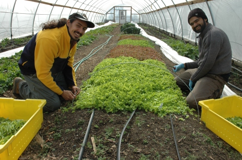 Christian Melendez and John Costa harvest oak leaf lettuce in one of the four hoop houses at ECO City Farms.